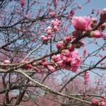 古河桃まつり 開花状況
